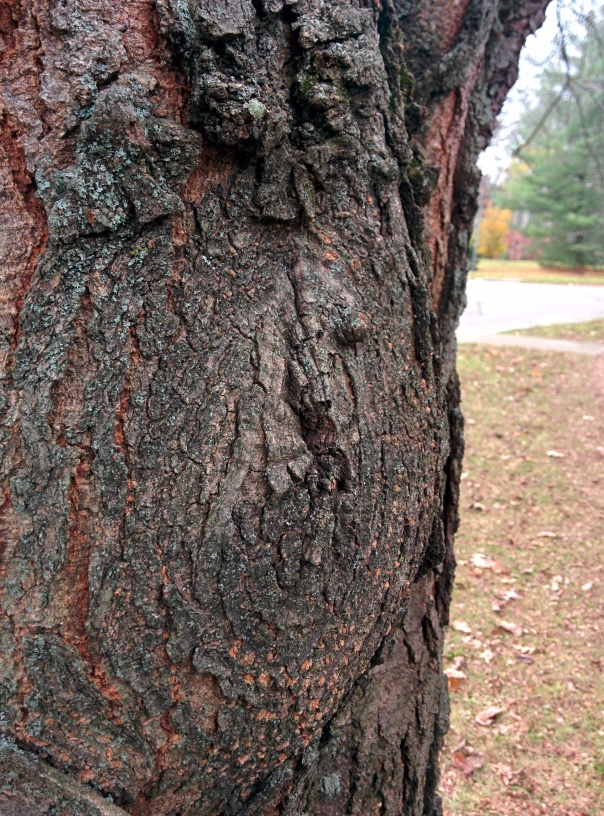 Close-up of a limb-removal scar on a honey locust