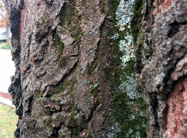 Closeup of the bark of a honey locust, with moss and lichen